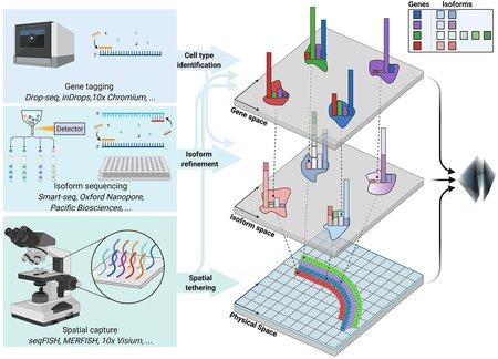 左边描述了三种技术——基因标记、亚型测序和空间捕获. 箭头表示它们结合在一起产生基因空间、亚型空间和物理空间中的信息.