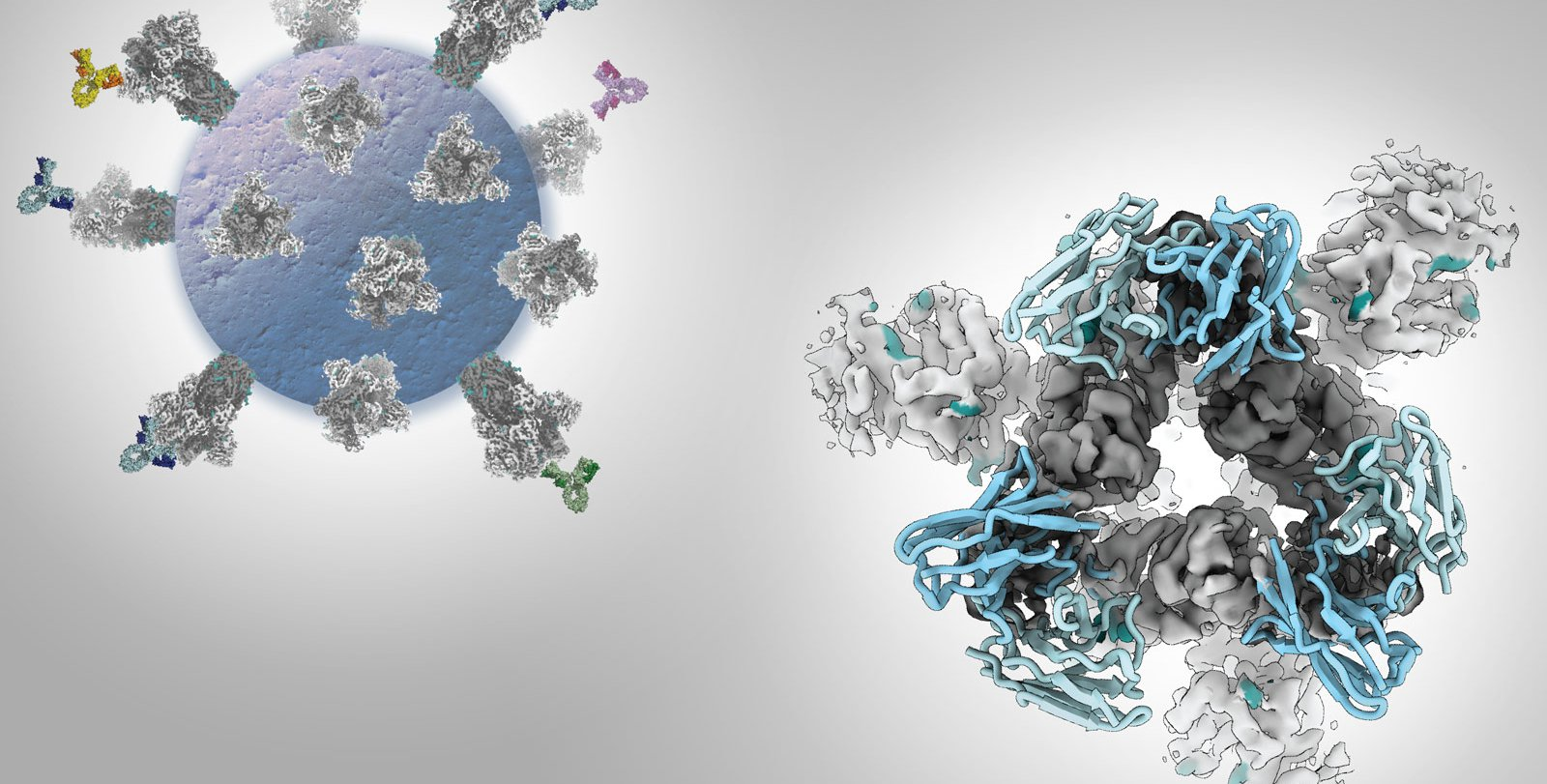 An illustration of a SARS-CoV-2 virus with antibodies attached to its spikes, and a close-up microscopy image of an antibody bound to the receptor binding domain