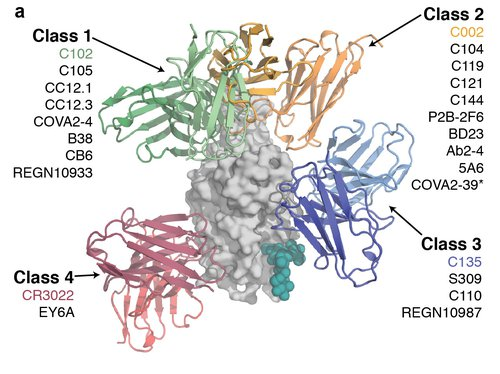 Four different classes of antibodies are grouped based on where they bind to the RBD on SARS-CoV-2