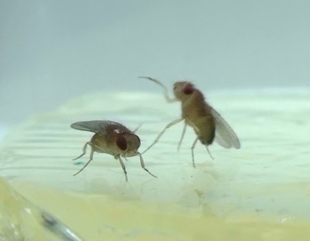 Two fruit flies fighting