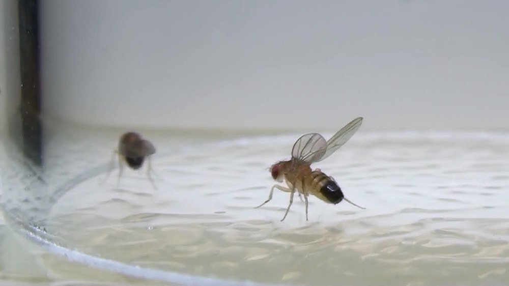 A fruit fly raising its wings in a threat display.