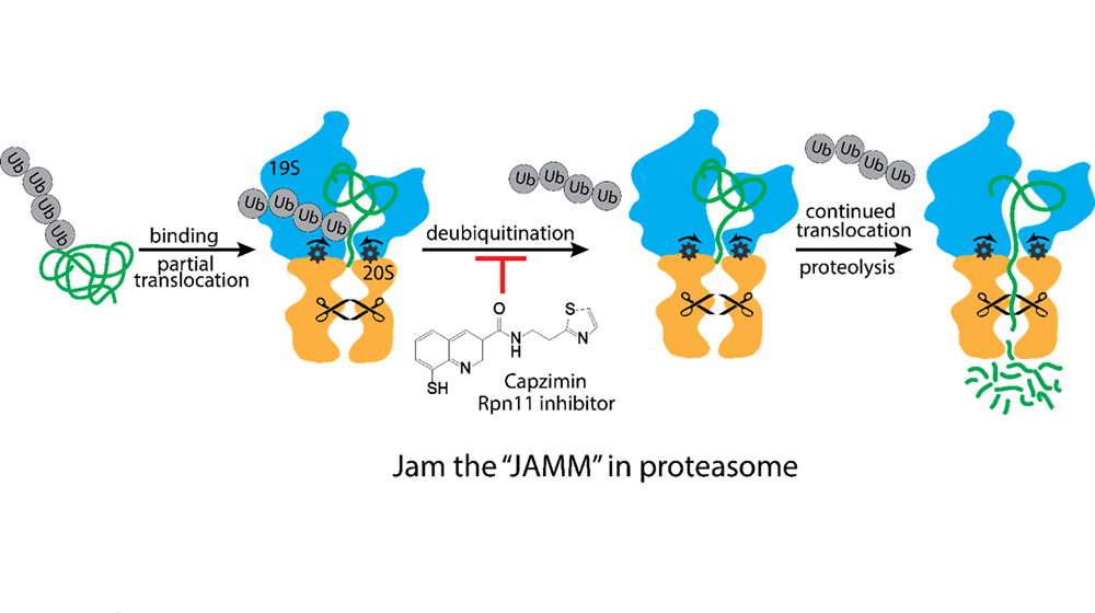 A diagram of protein degradation by the proteasome.