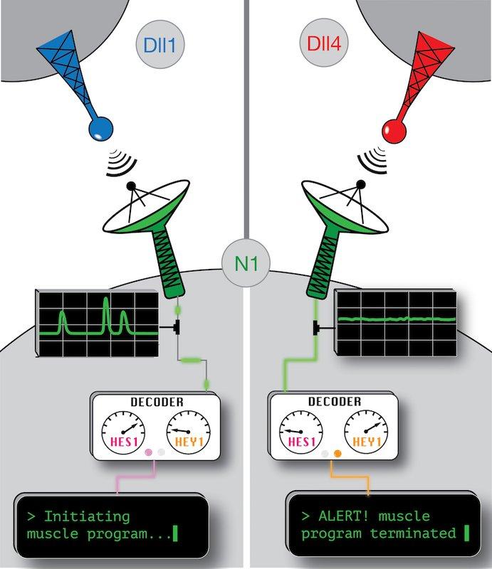 Illustration of Notch signaling
