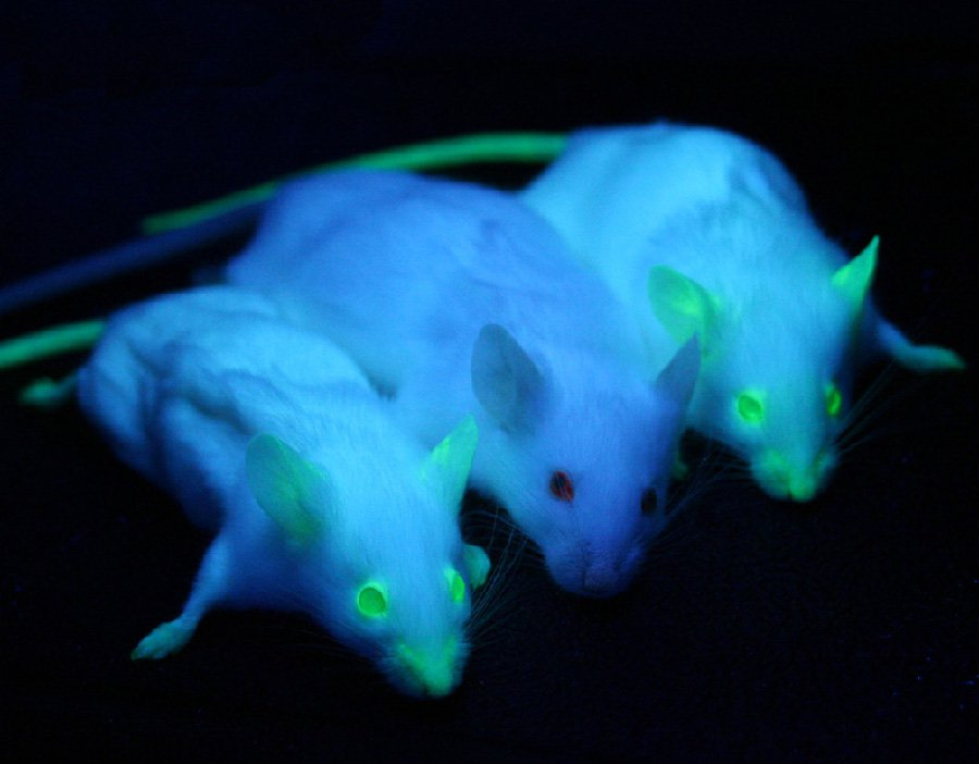 Three lab mice are pictured under blacklight. Two express green fluorescent protein, making their nose, eyes, and other bare skin glow green.