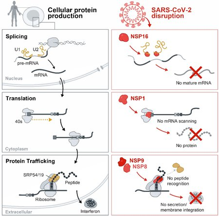 A column on the left illustrates healthy cellular splicing, translation, and protein trafficking processes. A column on the right shows how SARS-CoV-2 proteins interfere with each of these steps.