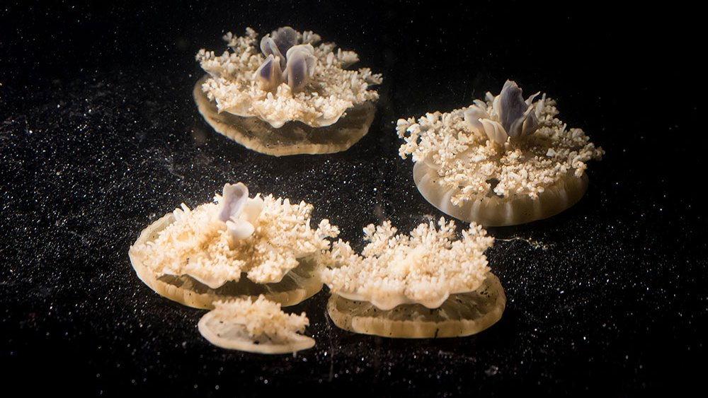 Multiple Cassiopea jellyfish on the bottom of a tank.