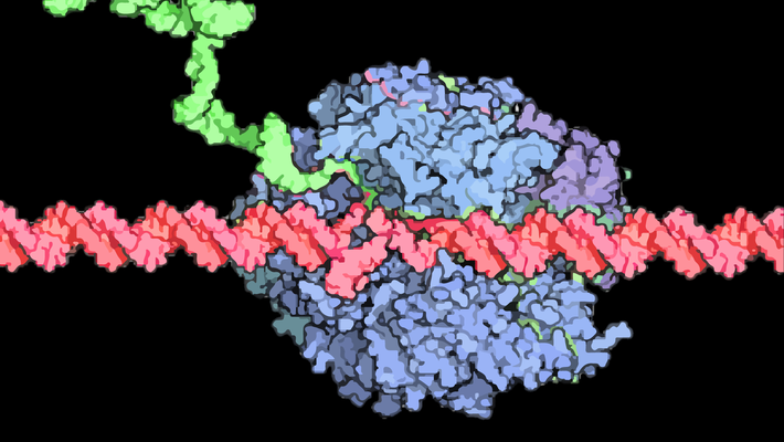 An RNA Polymerase II enzyme (blue blob) reads a strand of DNA (red string) and makes an RNA copy of it (green string).