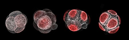 Four roughly spherical embryos from left to right, made up of a few cells each, with increasing amounts of red at the outside of each cell.