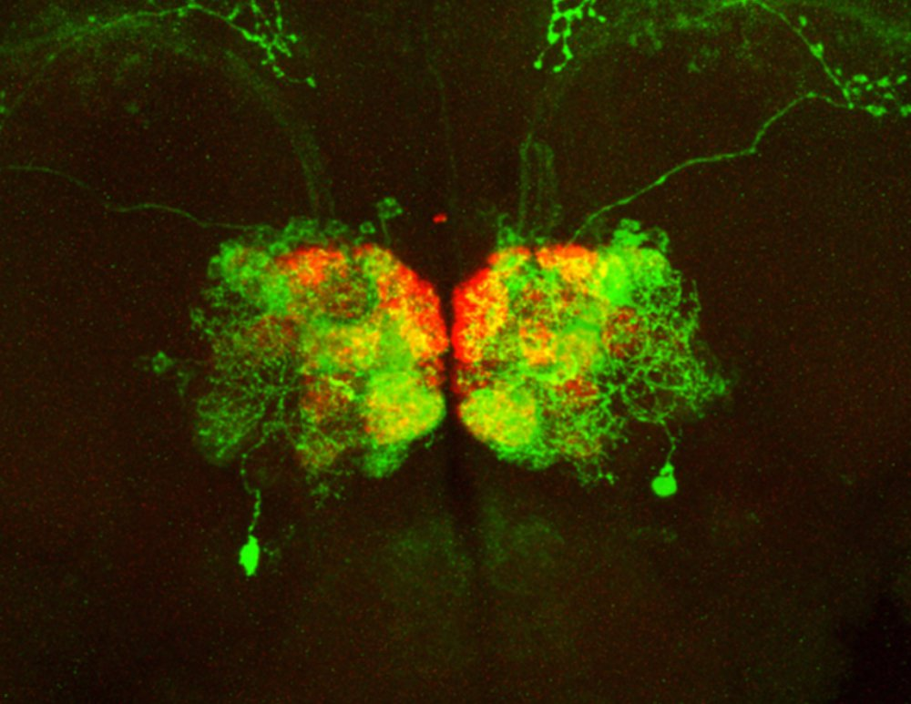 A region of the brain illuminated in green and red